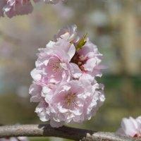 Один раз в год сады цветут... :: Тамара