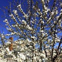 Черешня в цвету :: Алла ZALLA