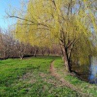 Весенняя поляна с ивой :: Валерий Ткаченко