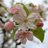 Цветы  лесной яблони :: valeriy khlopunov