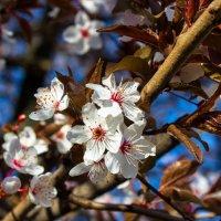 весенние цветы IMG_2314 :: Олег Петрушин