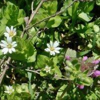 Звездчатка и яснотка - весенние цветочки :: Нина Корешкова