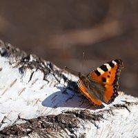 Первые бабочки весны :: Анатолий Иргл