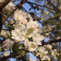 Яблоневый цвет :: Марина Таврова