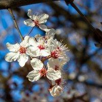 весенние цветы IMG_2317 :: Олег Петрушин
