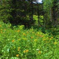 Цветут в июне поляны :: Сергей Чиняев