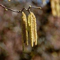 Весна развесила сережки ... :: Владимир Икомацких