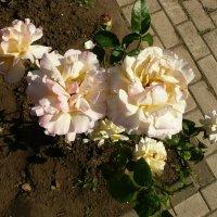 Такие разные розы :: Виктор