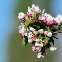 Яблони в цвету. :: Светлана Ивановна Медведева