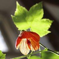 оранжевый цветок :: Александр Иванов