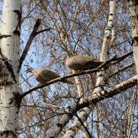 Парочка диких голубей. :: Aлександр **