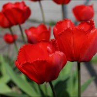 Тюльпаны :: Татьяна Пальчикова