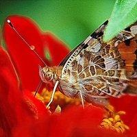 бабочка :: Александр