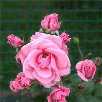 Розовая роза. :: Liudmila LLF