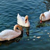 Лебединое озеро :: Елена (ANEL-VP) .