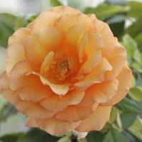 Кремово - оранжевая роза. (другой оранжевый цветок) :-) :: Александр Иванов
