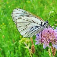 Боя́рышница (лат. Aporia crataegi) — бабочка из семейства белянок (Pieridae). :: vodonos241