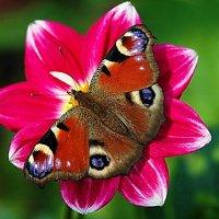 бабочка павлиний глаз :: Александр