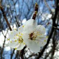 Цветущая абрикоса. Муравей в цветке. :: Татьяна Королёва