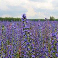 Синяк цветёт :: Надежда Постникова