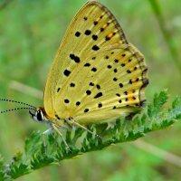 Голубянка червонец титир(лат. Lycaena tityrus) :: vodonos241