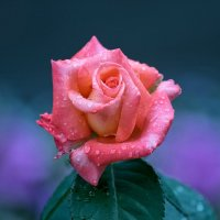 Роза :: Владимир Шадрин