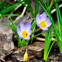 Первоцветы - крокусы... :: Михаил Болдырев