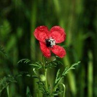 Аленький цветочек. :: Игорь