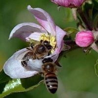 Следущая пчела на подлете :: Асылбек Айманов