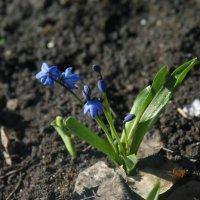 первые весенние цветы :: Любовь Потравных