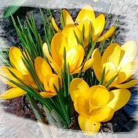 Желтые крокусы. :: Чария Зоя