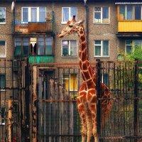 Жираф большой- ему видней :: Клавдия Андреева