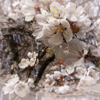 Абрикосы в цвету :: Elena