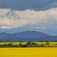 Желтое поле... :: Петр Заровнев