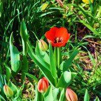 Тюльпаны :: Lybov