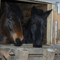 Пара лошадей. :: Лана