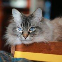 Просто котик голубоглазый :: Алёна Гершфельд