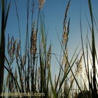 Колосья в поле :: Elena Gosteva