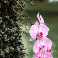 Орхидеи, орхидеи :: Олег Чемоданов