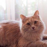 Апельсиновый кот :: Лана Коробейникова