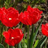 Утро в тюльпанах... :: Тамара (st.tamara)