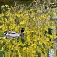 Плывёт по реке да сизый селезень..плывет  в отражении  форзиции... :: backareva.irina Бакарева