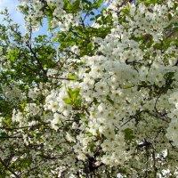 Цветение вишни. :: Лия ☼