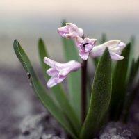 розовый гиацинт :: лиана алексеева