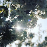 цветение :: Elena Gartung