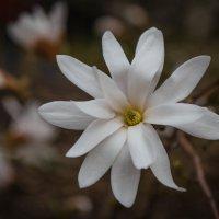 Звездчатая красавица :: Андрей Нибылица