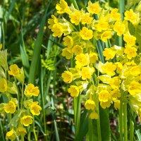 весенние цветы IMG_3378 :: Олег Петрушин