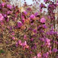 Багульник на сопках, рододендрон даурский в саду :: Марина Белоусова
