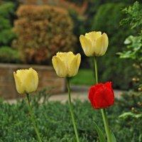 Тюльпаны :: Vit