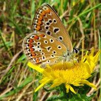 """*""""Polyommatus icarus (Rottemburg, 1775) — Голубянка икар"""" Самка. :: vodonos241"""
